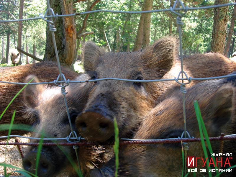 Парк-заповедник в пиренеях Parc Animalier - кабанчики